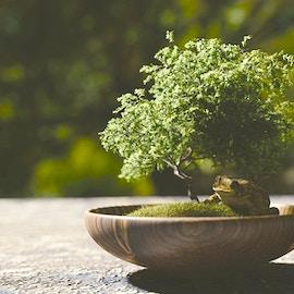 Le specie di piante più utilizzate come bonsai